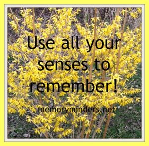forsythia-senses