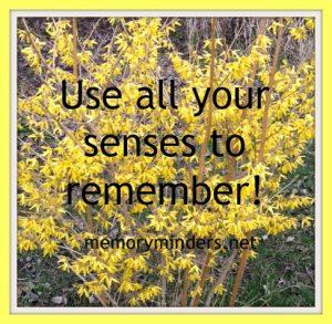 forsythia-senses